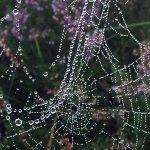seizoenen-stiltewandelingen-heide-spinnenweb